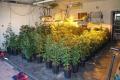 Zlikwidowano plantację marihuany. Właścicielem krzewów mieszkaniec naszego powiatu